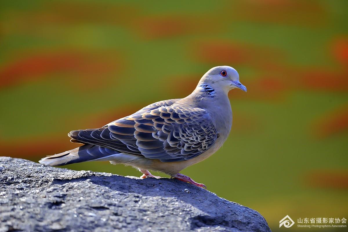 梦见鸽子和鸡周公解梦