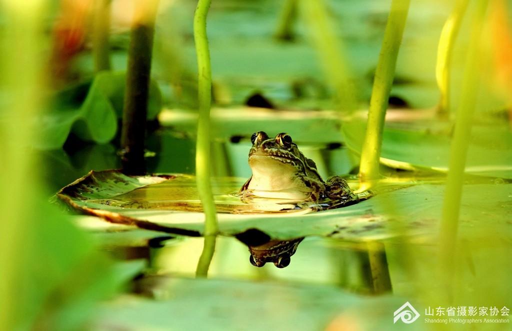 《蛙鸣荷塘》张跃15066910607.jpg