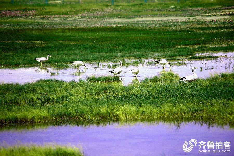 神州行138--青海湖风光之一--鸟岛