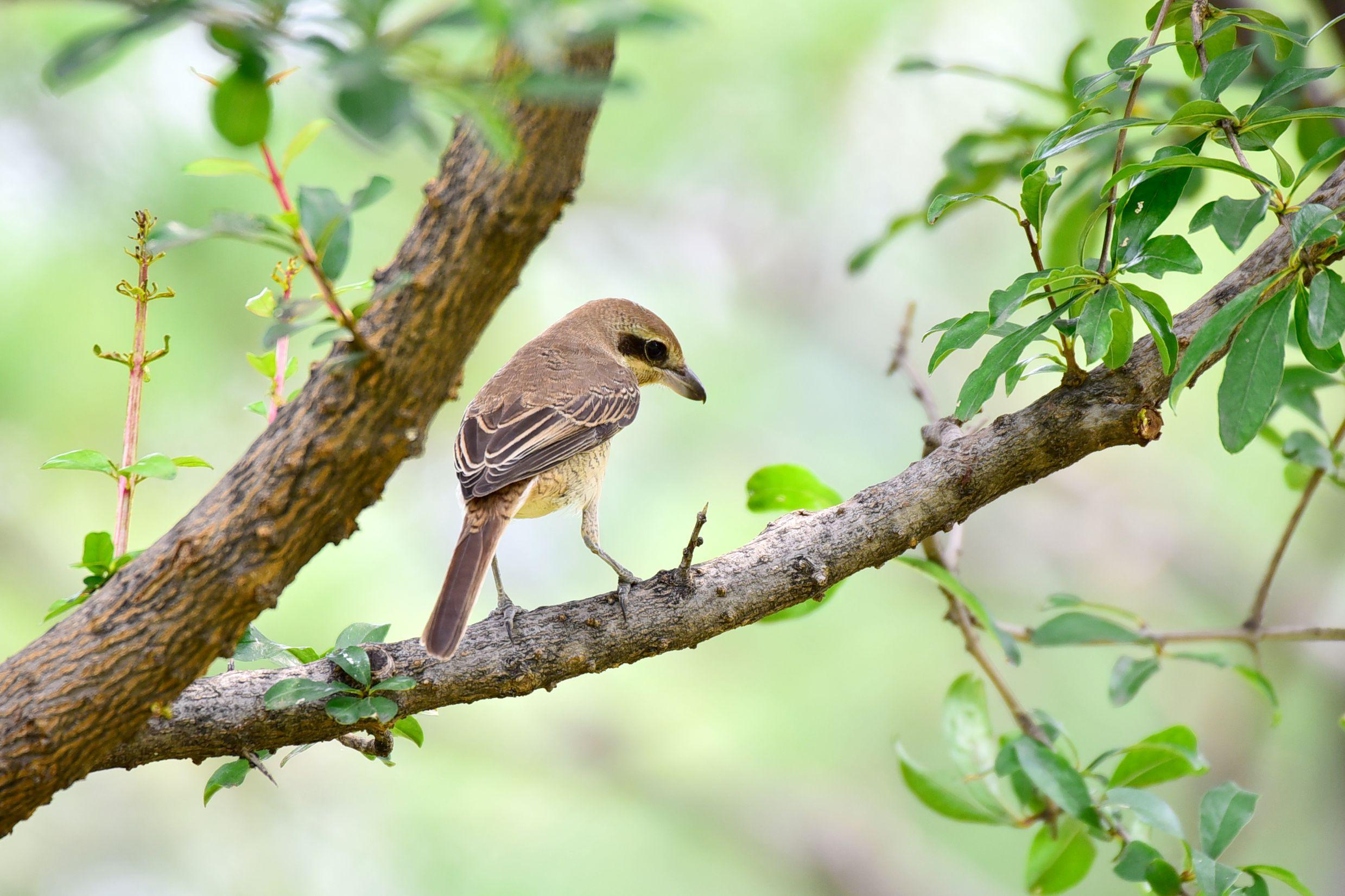 石榴树上的红尾伯劳(五) - 鸟类动物 - 齐鲁社区 齐鲁