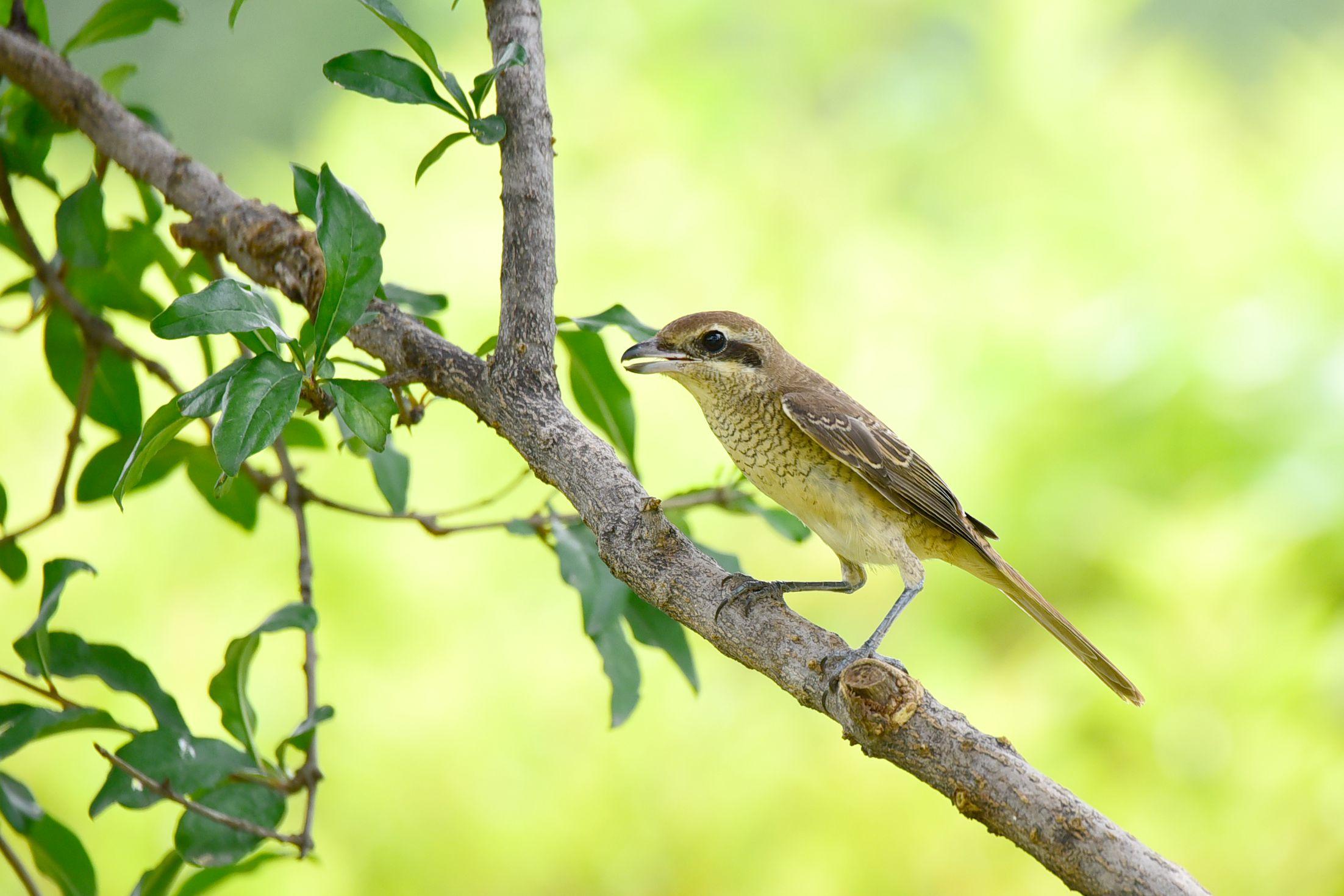 石榴树上的红尾伯劳(六) - 鸟类动物 - 齐鲁社区 齐鲁