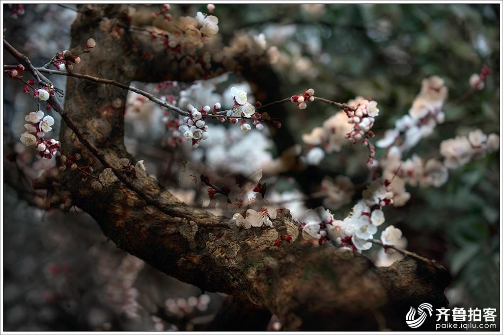 阳春三月杏花开