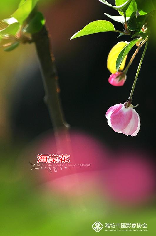 《盛开的海棠花》醉美四月天。。。