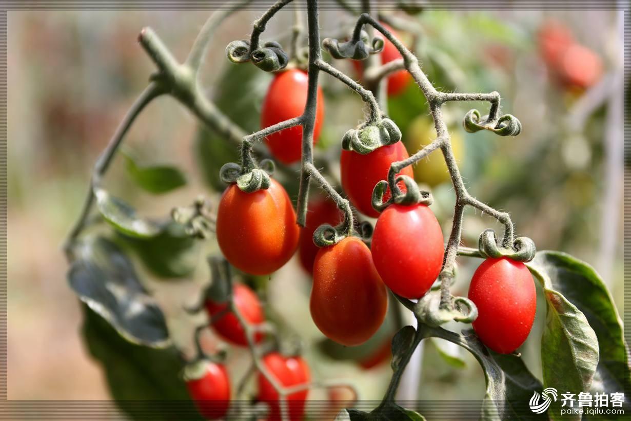 西红柿11.jpg