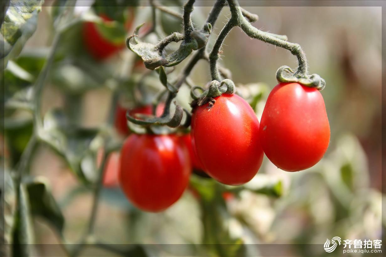 西红柿12.jpg