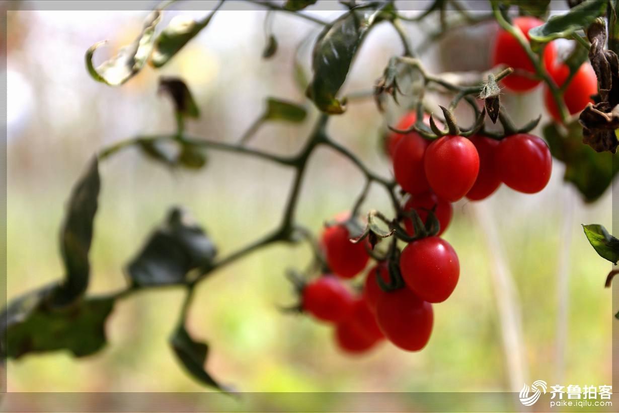 西红柿15.jpg