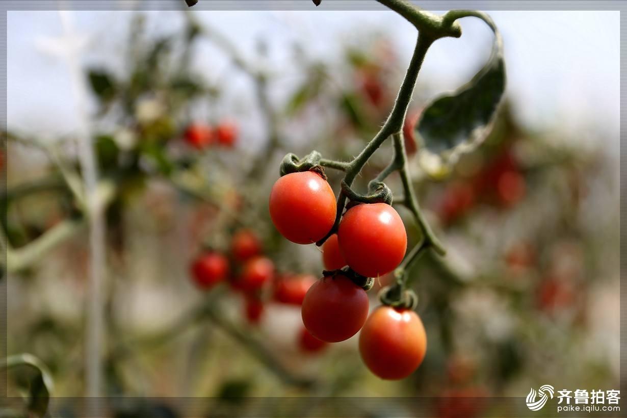 西红柿18.jpg