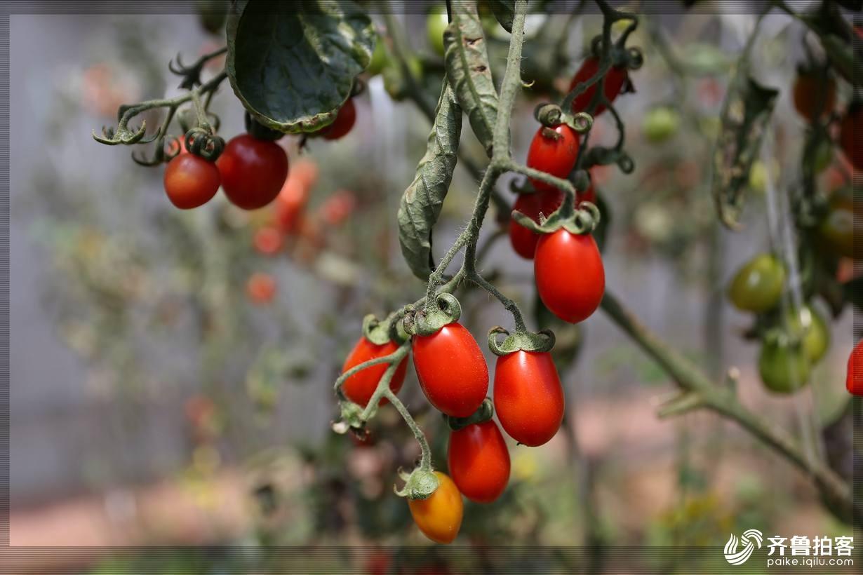 西红柿20.jpg
