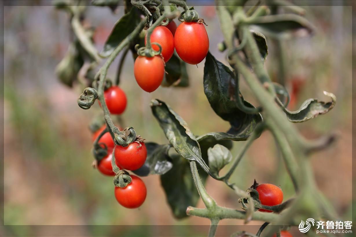 西红柿21.jpg