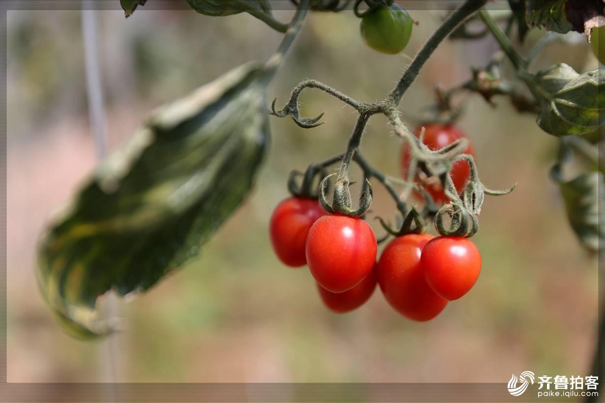 西红柿24.jpg