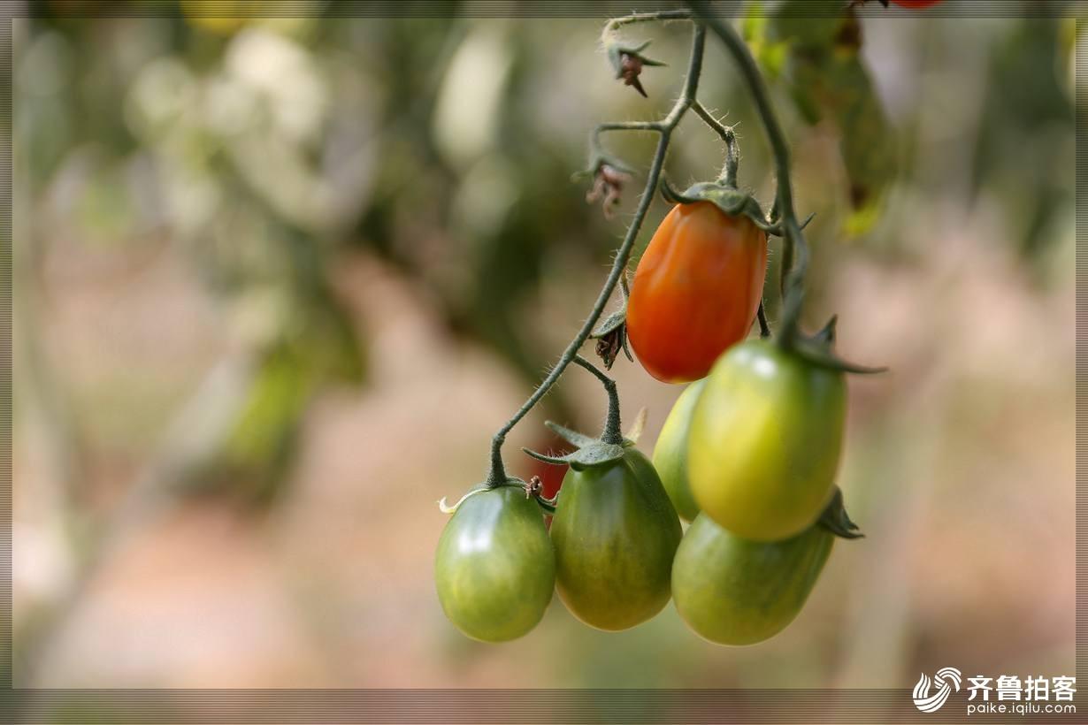 西红柿25.jpg