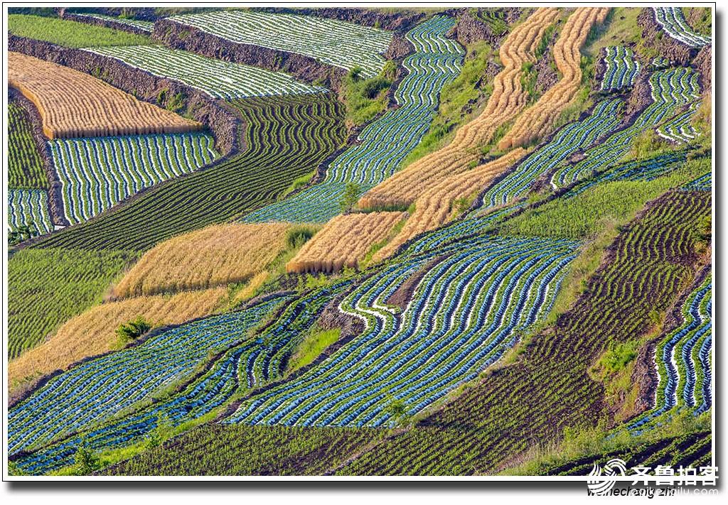 安丘山区开镰收割小麦