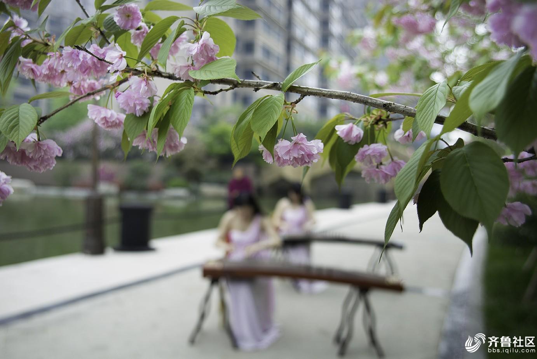 浪漫樱花季2