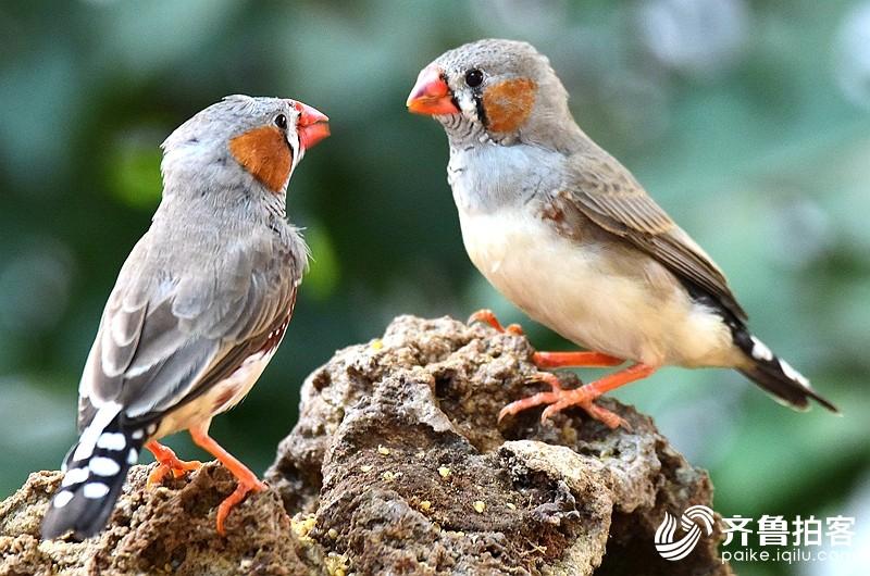 近距离拍鸟---斑胸草雀