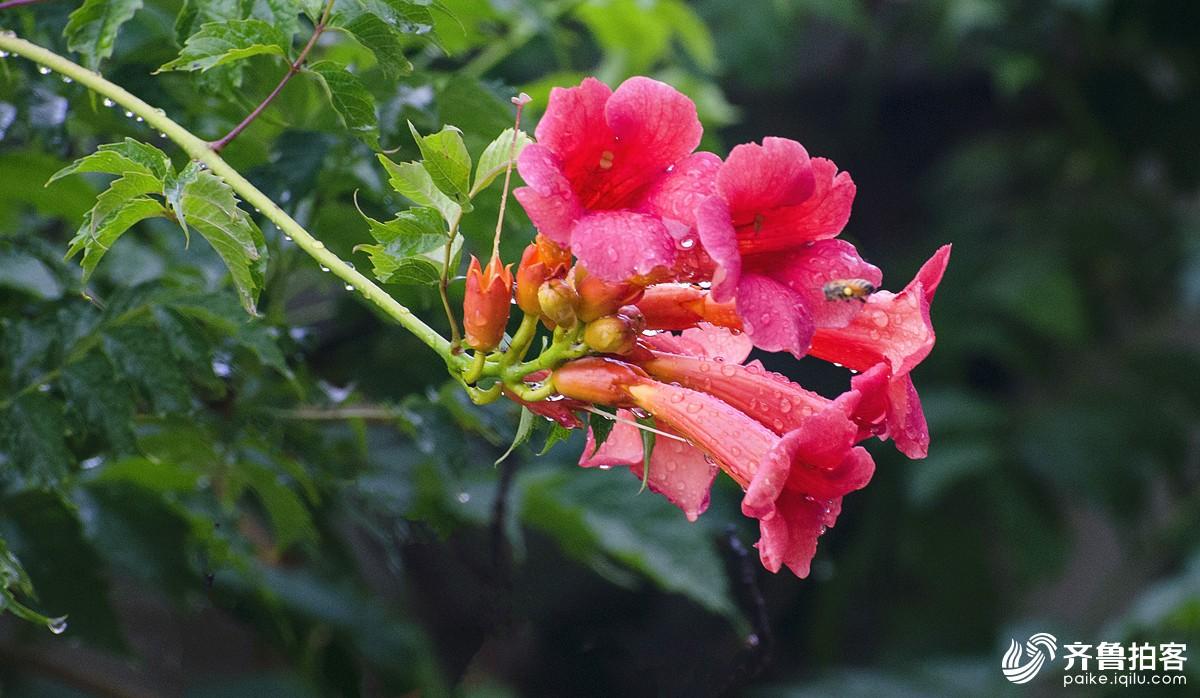 雨后的凌霄花
