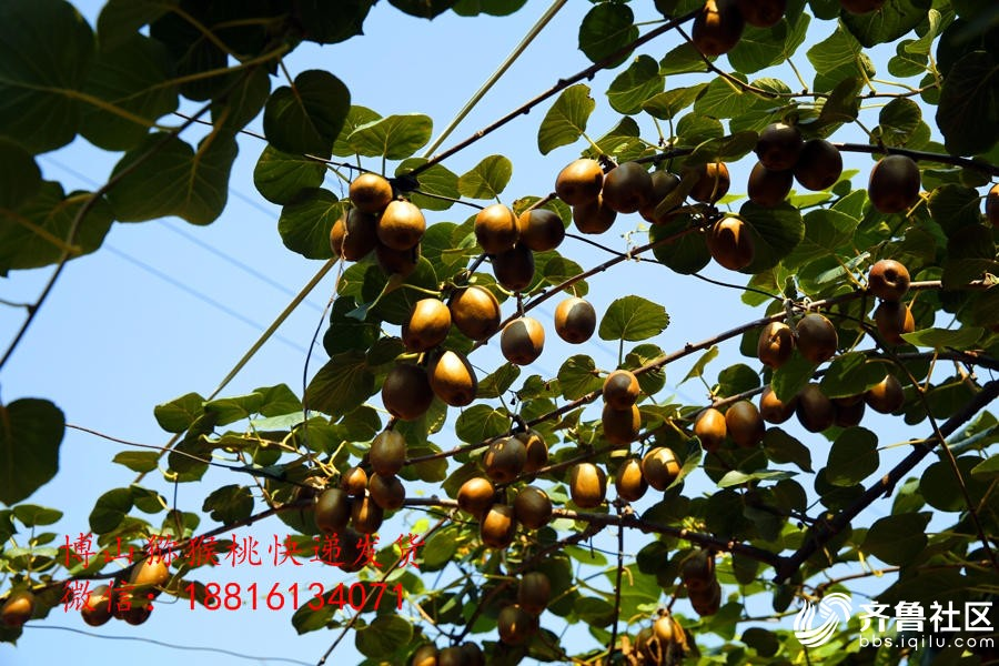 博山猕猴桃博山猕猴桃采摘节博山猕猴桃地址价格11.jpg