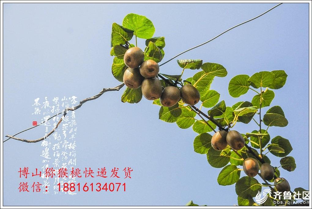 博山猕猴桃博山猕猴桃采摘节博山猕猴桃地址价格13.jpg