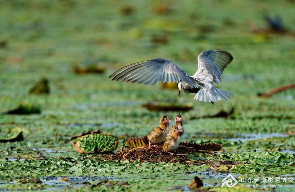 东平湖上拍须浮鸥
