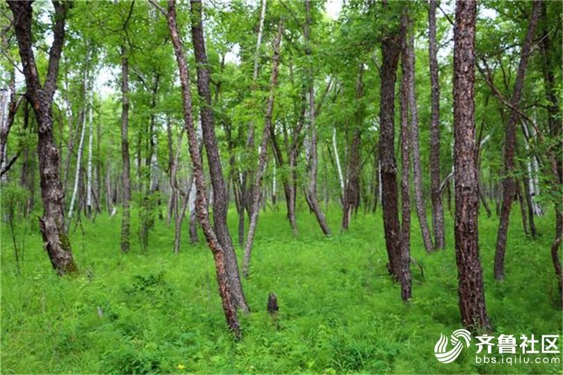 黑桦林3.jpg