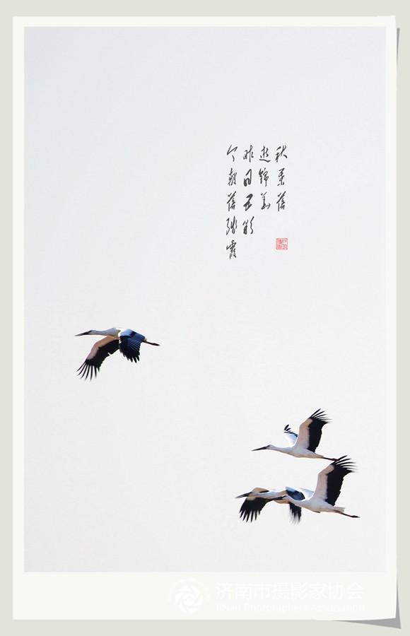 偶遇白鹤(五)这是我在黄河济南段的岸滩上拍到的白鹤,它们从北方向南