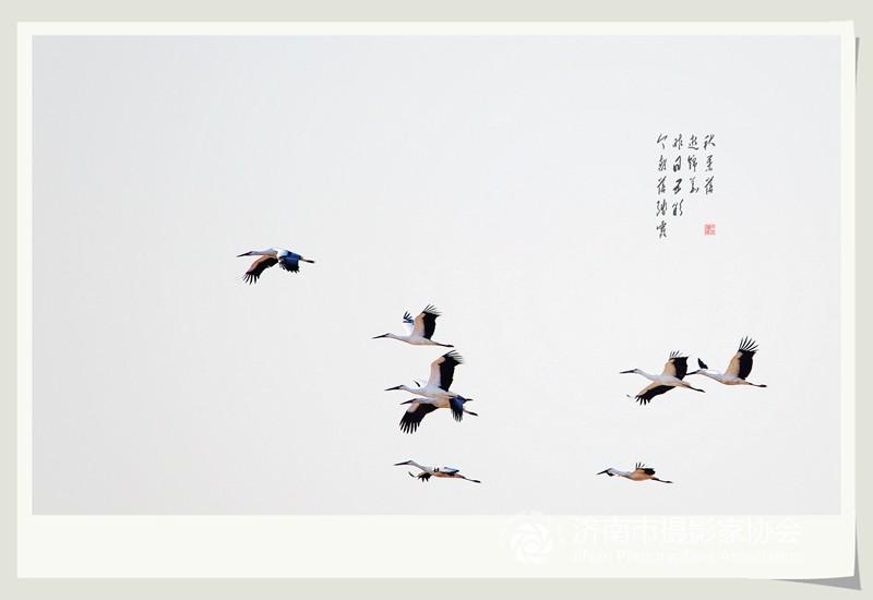 69 济南市摄协官方论坛 69 市直 69 偶遇白鹤(六)