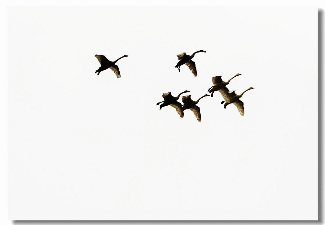 翱翔的天鹅