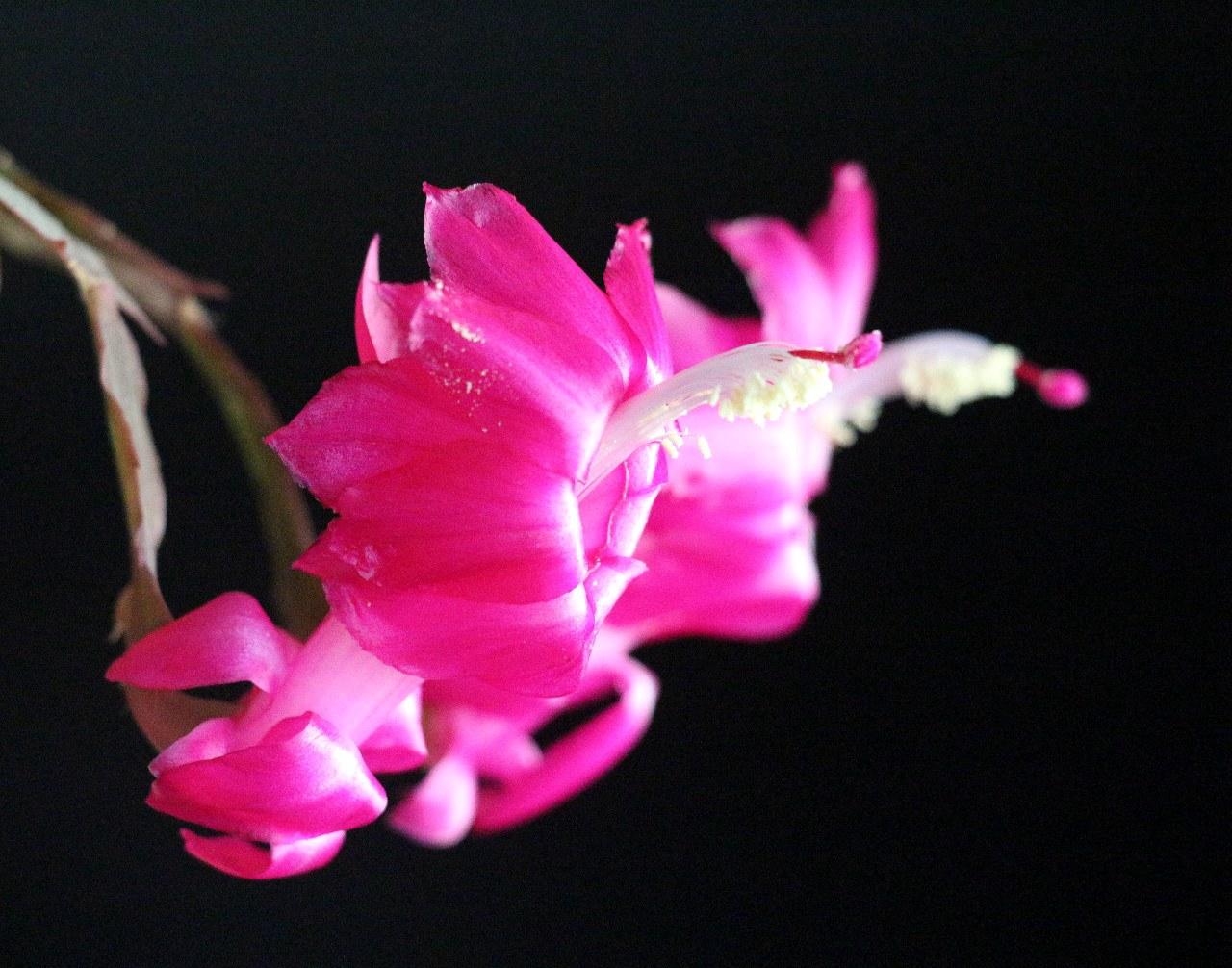 红蟹爪兰花(14).jpg