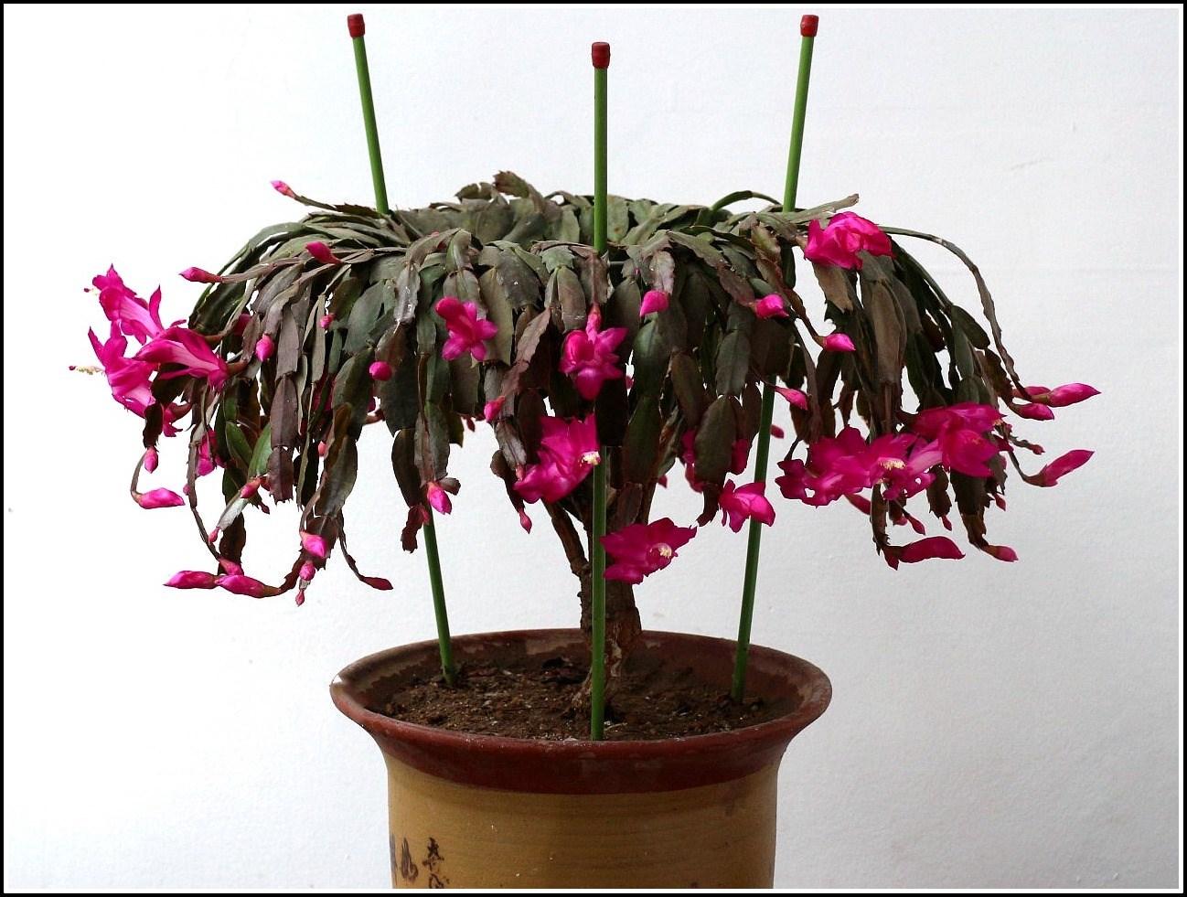 红蟹爪兰花(16).jpg