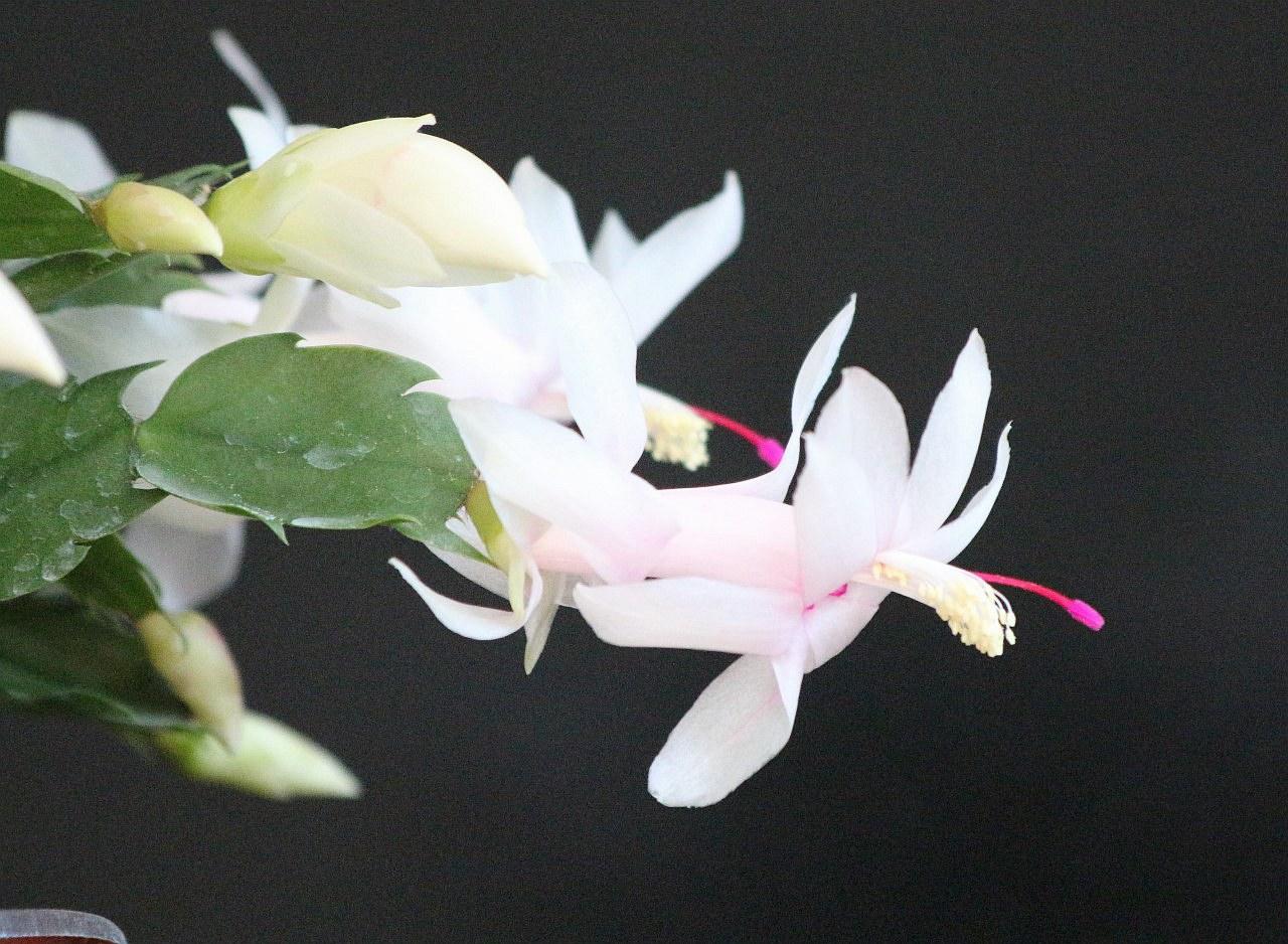 五色蟹爪兰(9).jpg
