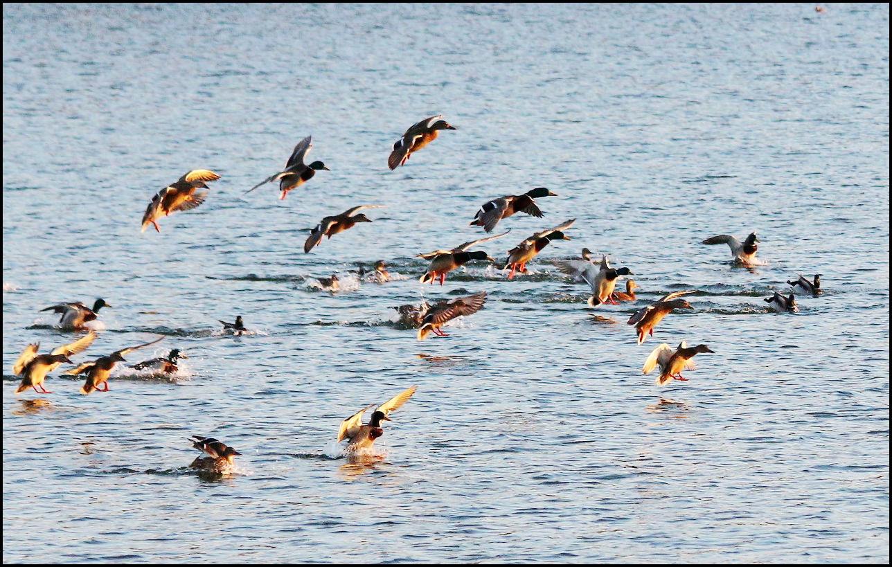 湖中野鸭(1).jpg