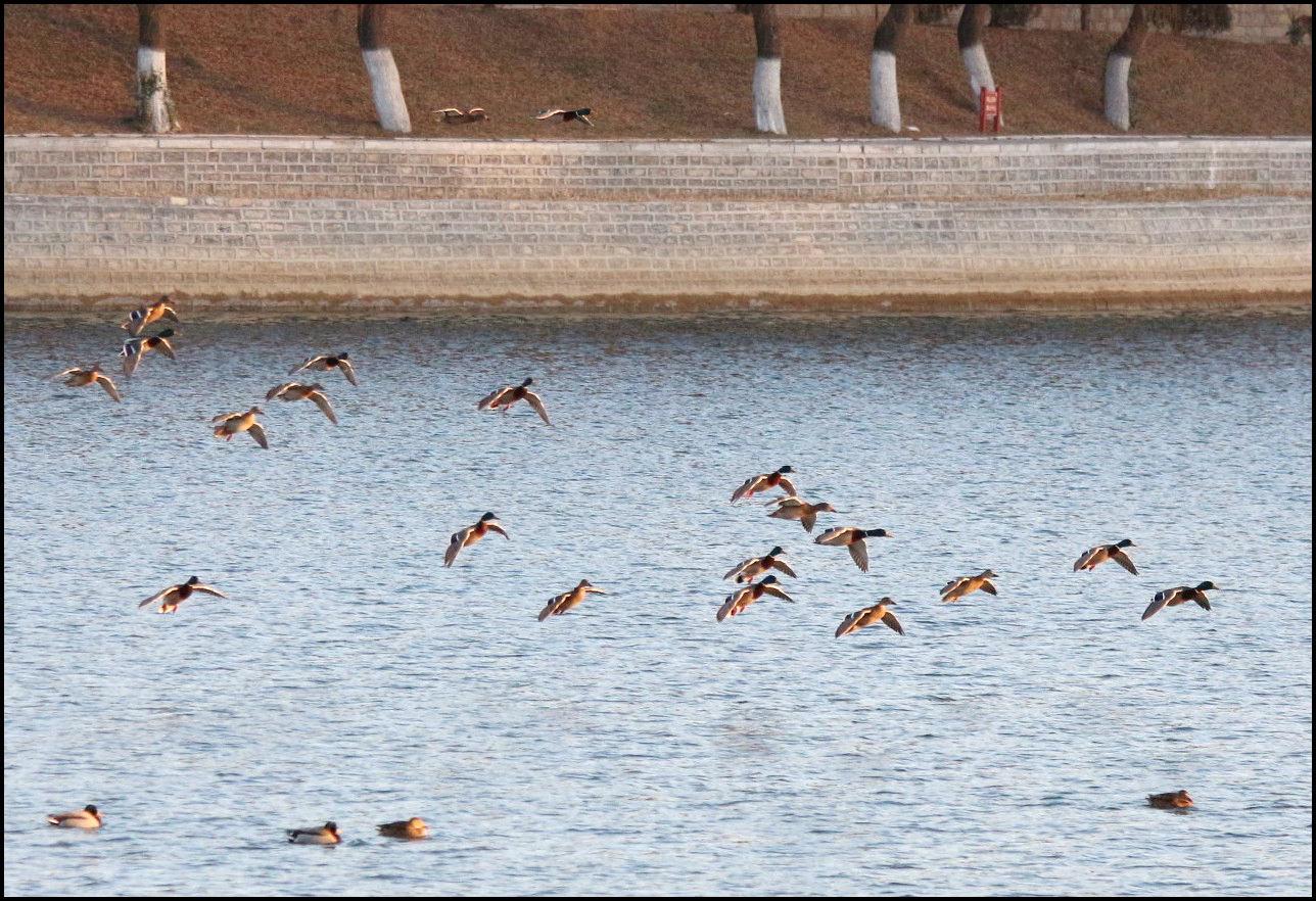 湖中野鸭(3).jpg