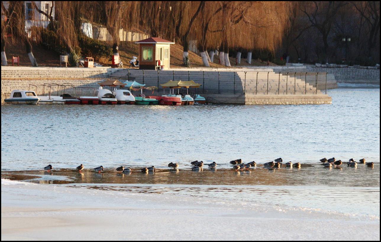 湖中野鸭(5).jpg