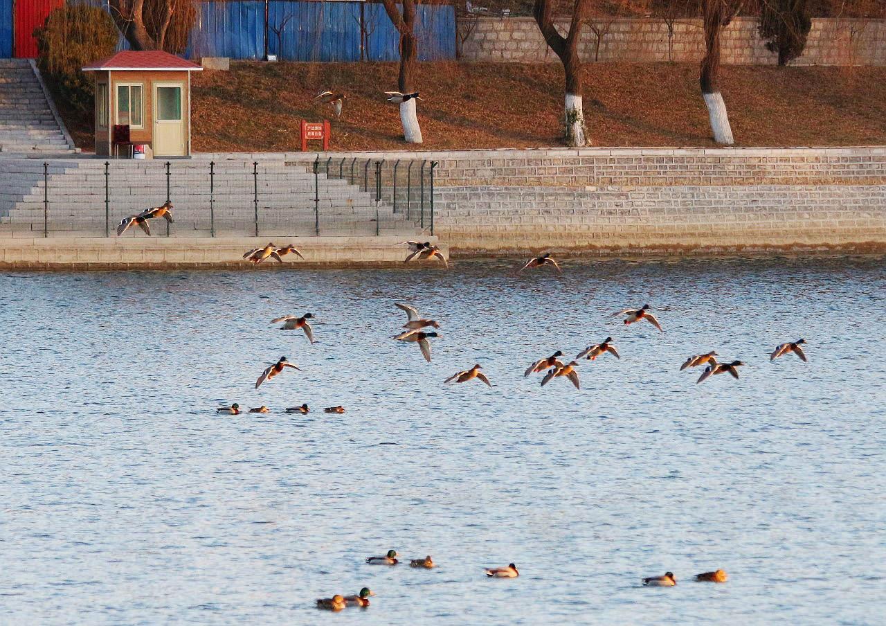 湖中野鸭(7).jpg