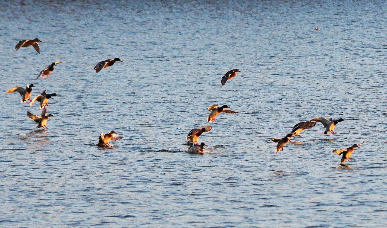 湖中野鸭(9).jpg