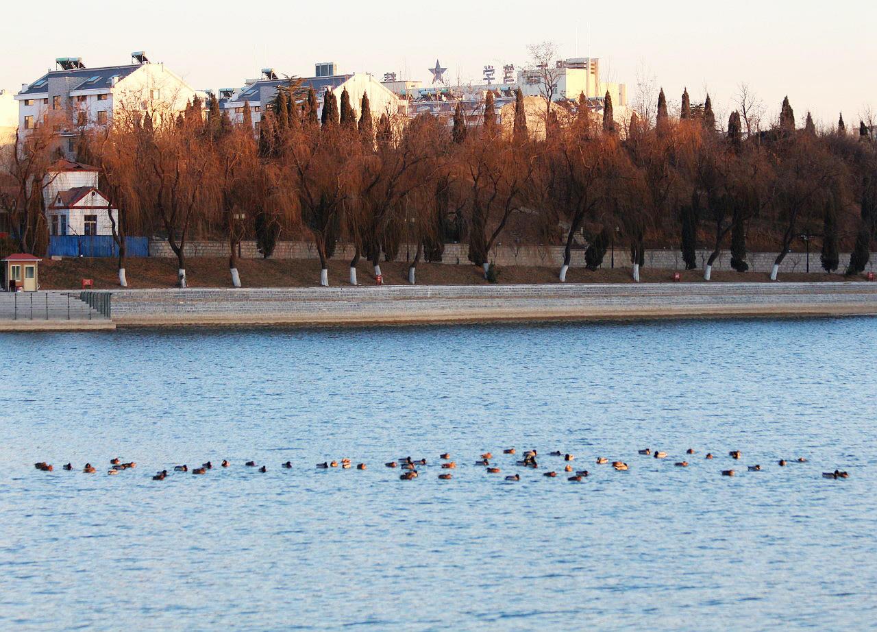 湖中野鸭(10).jpg