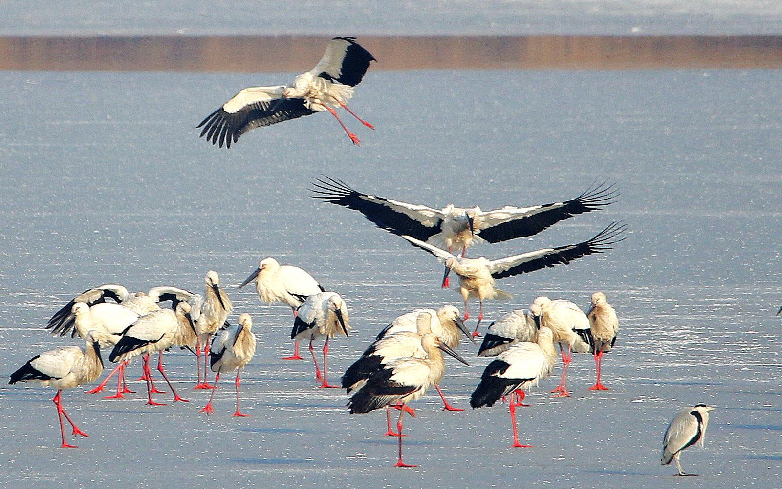 龙湖湿地的东方白鹳(二)