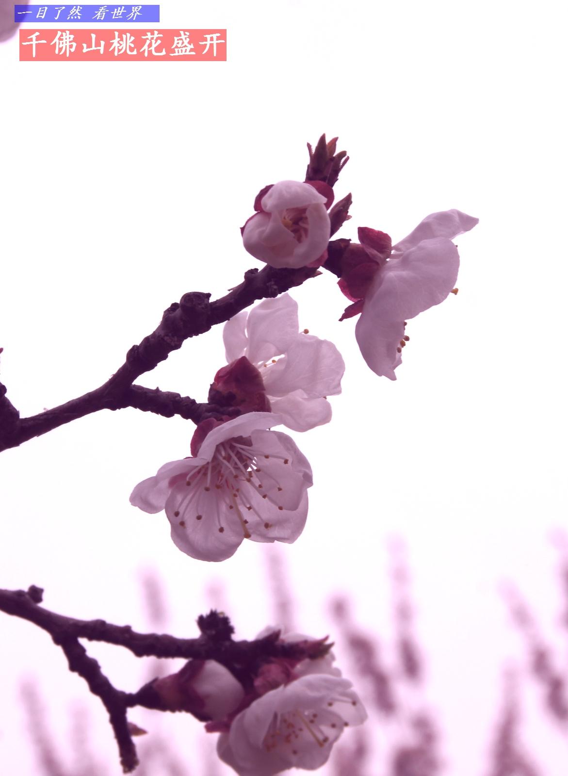 千佛山迎春花-桃花盛开-19-1600.jpg