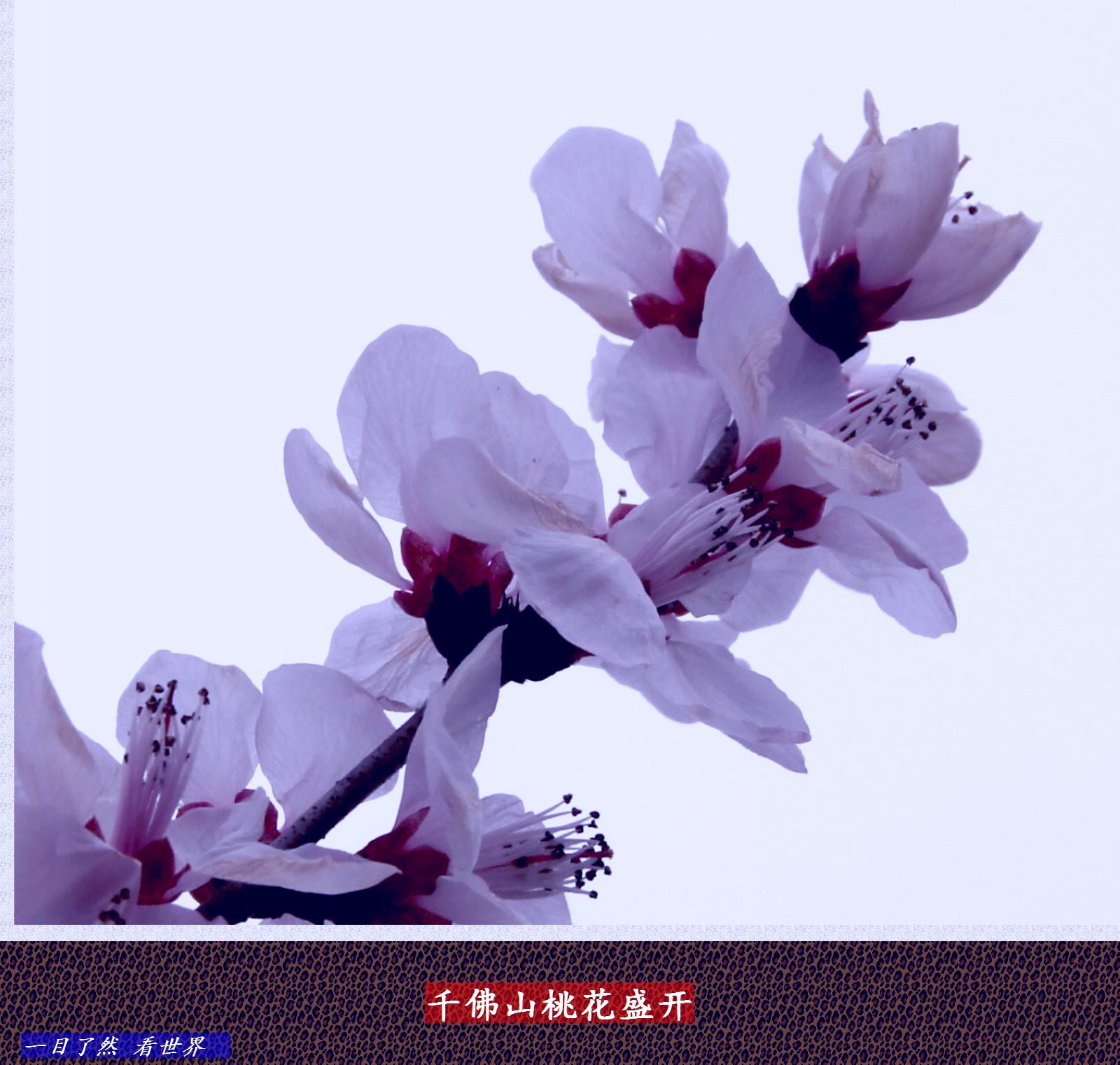 千佛山迎春花-桃花盛开-21-1600.jpg