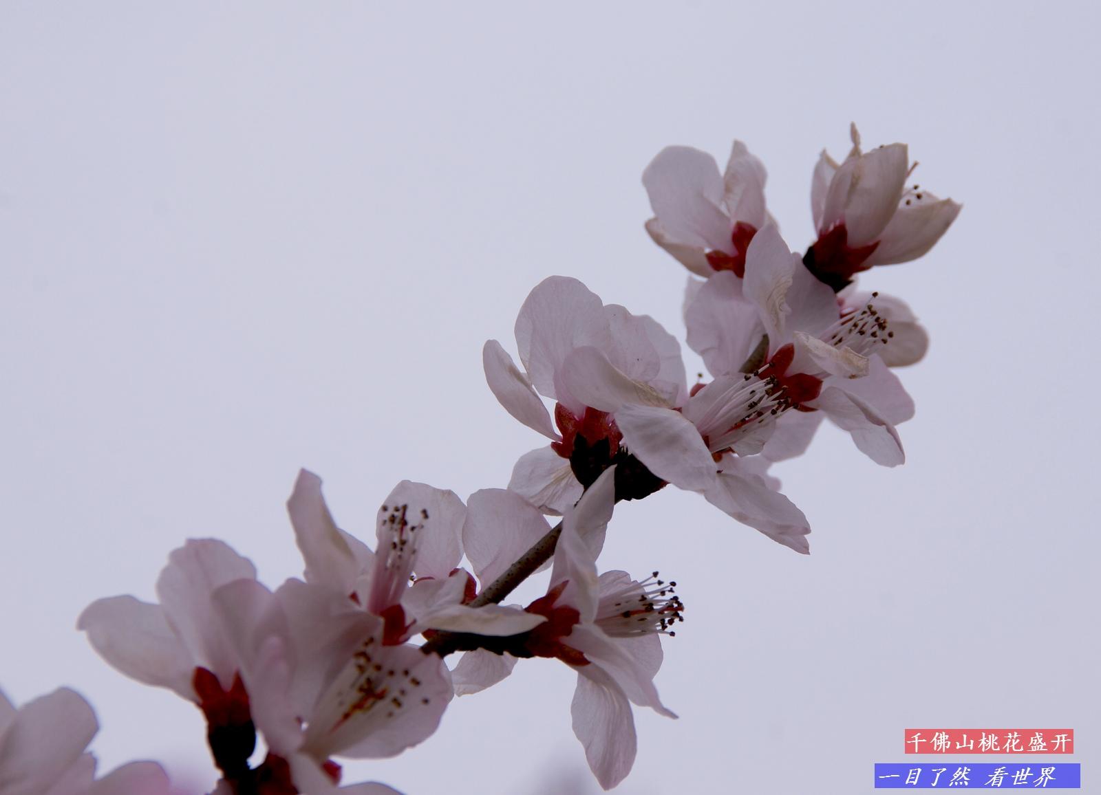 千佛山迎春花-桃花盛开-22-1600.jpg