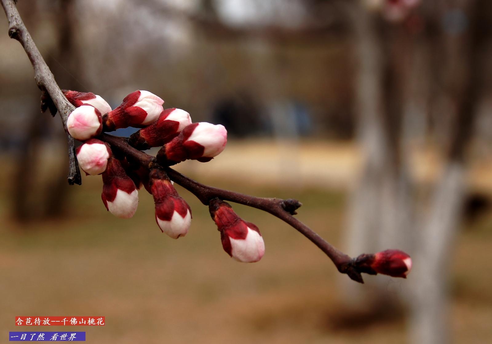 千佛山迎春花-桃花盛开-含苞待放-28-1600.jpg