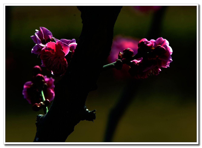 《红梅花儿开》马现团