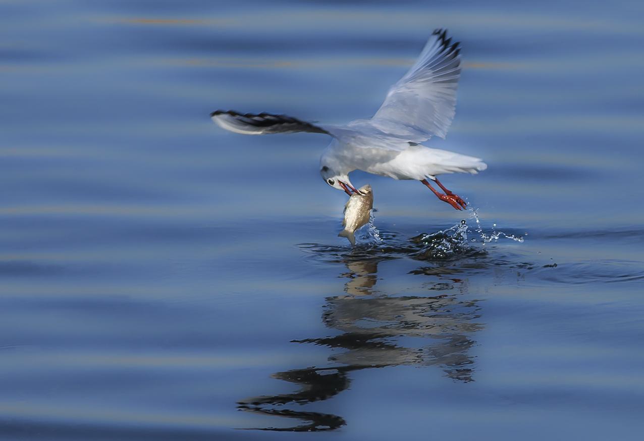 红嘴鸥捕鱼