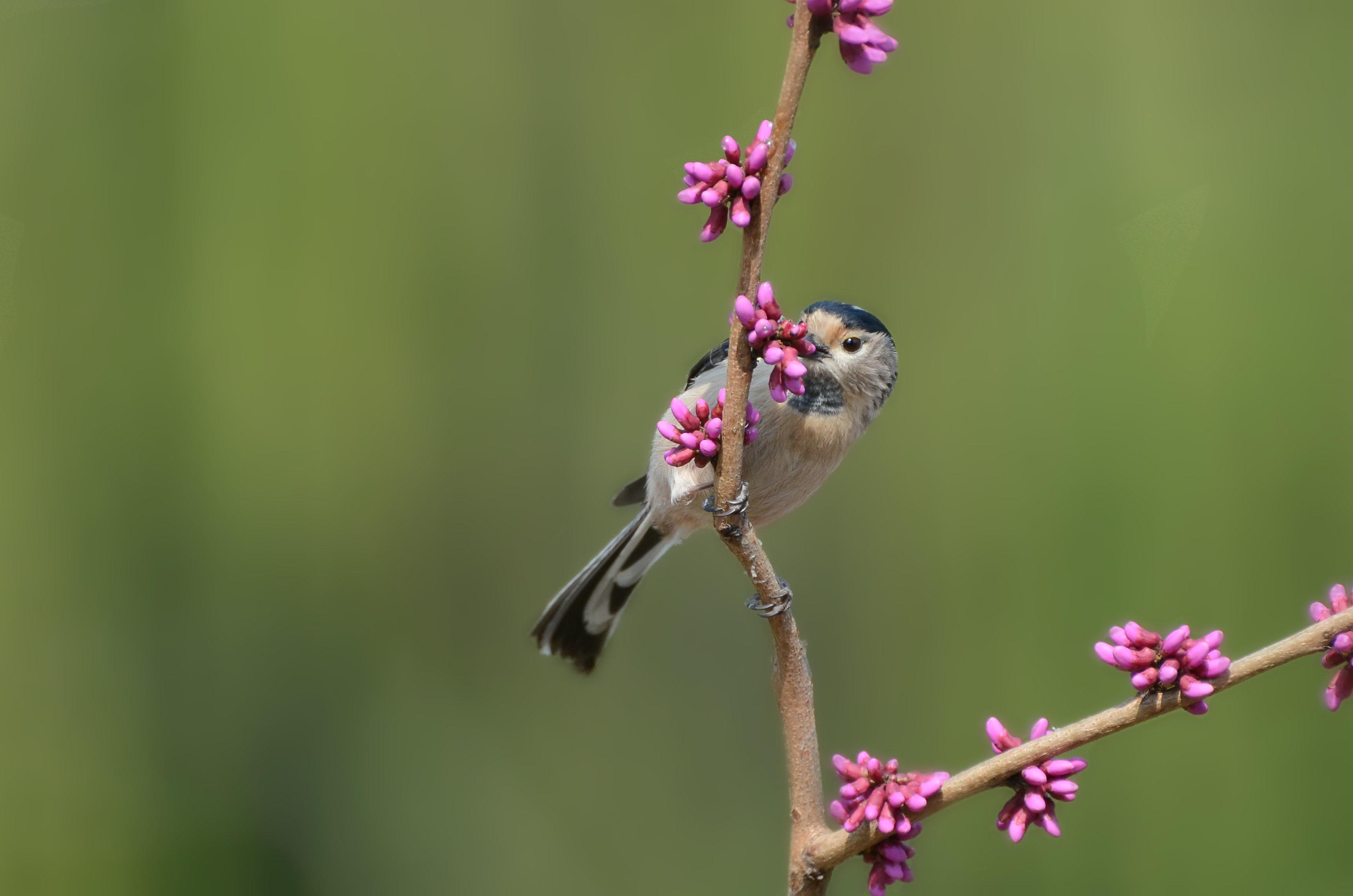 银喉长尾山雀 紫荆花