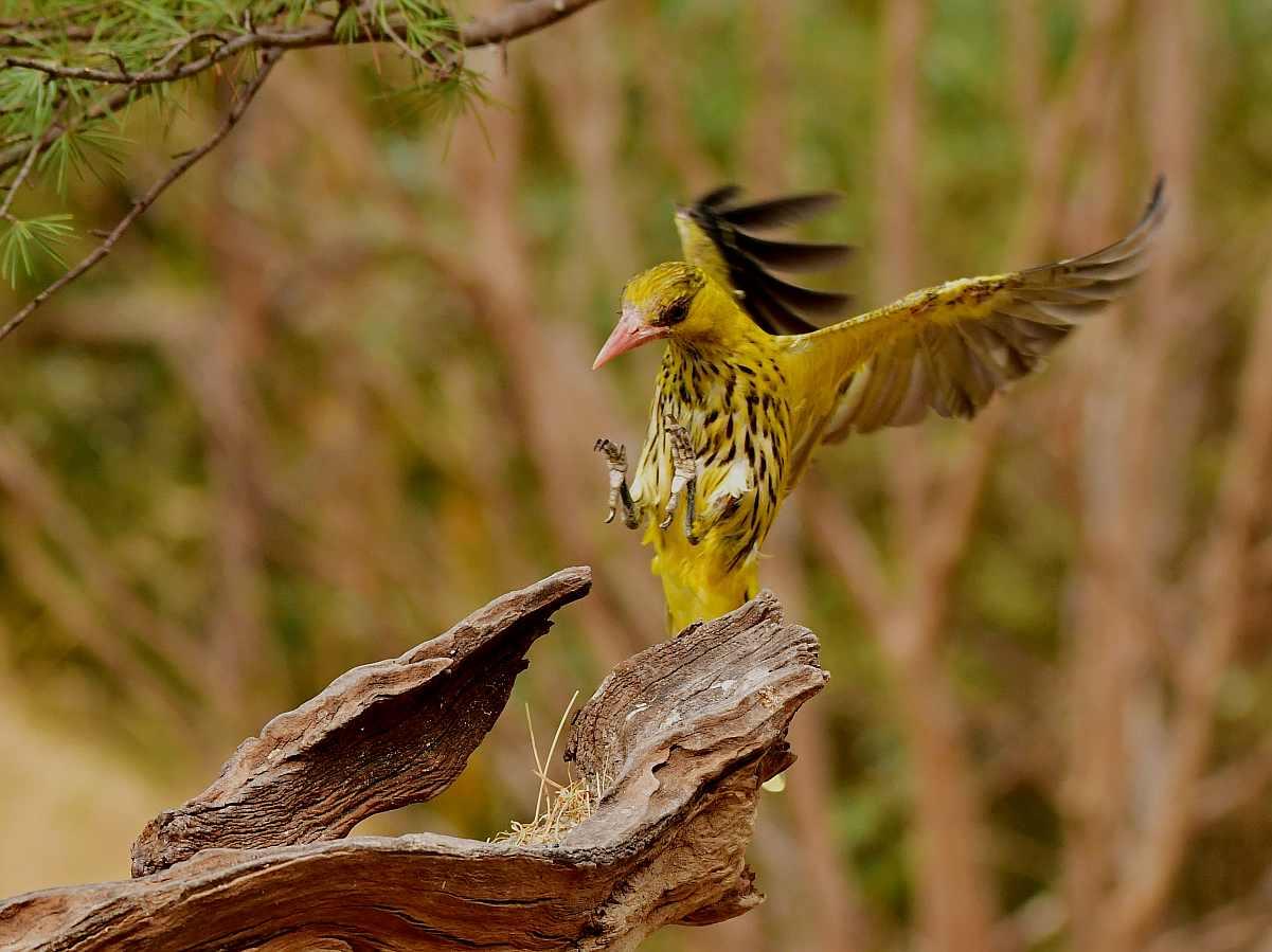 潍坊鸟园鸟类选编之七:黄鹂