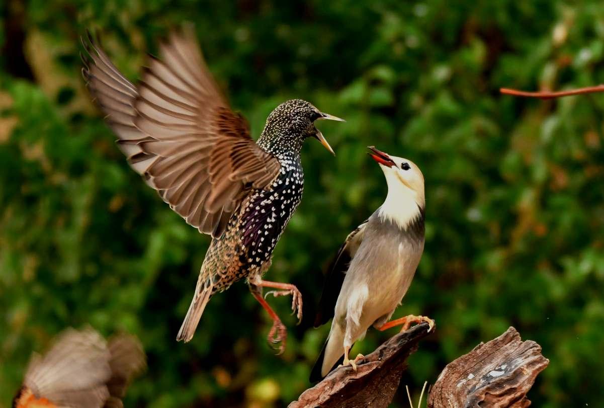 潍坊鸟园鸟类选编之十二:丝光椋鸟及灰背椋鸟
