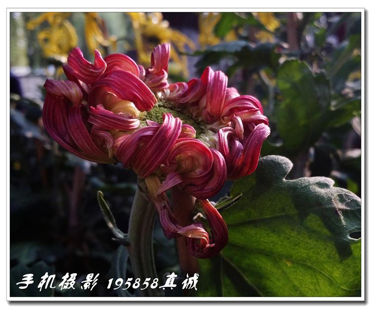 2017.10.20 菊 花 展 ====== [手机摄影] 1