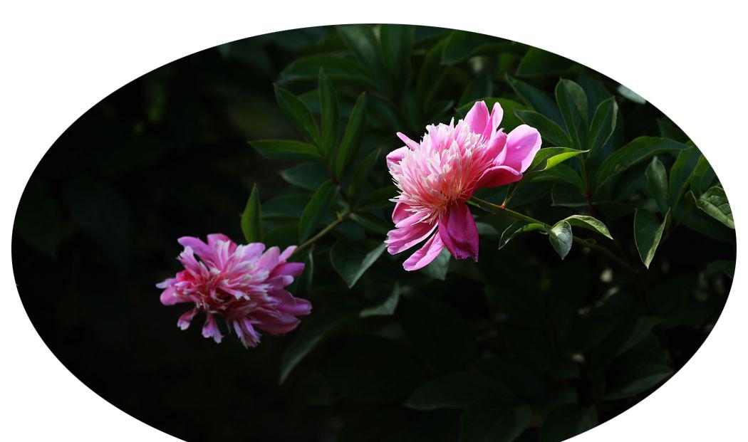 芍药花、、、、