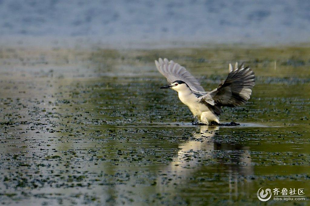 摄影习作(2018—465)拍摄的夜鹭(3)