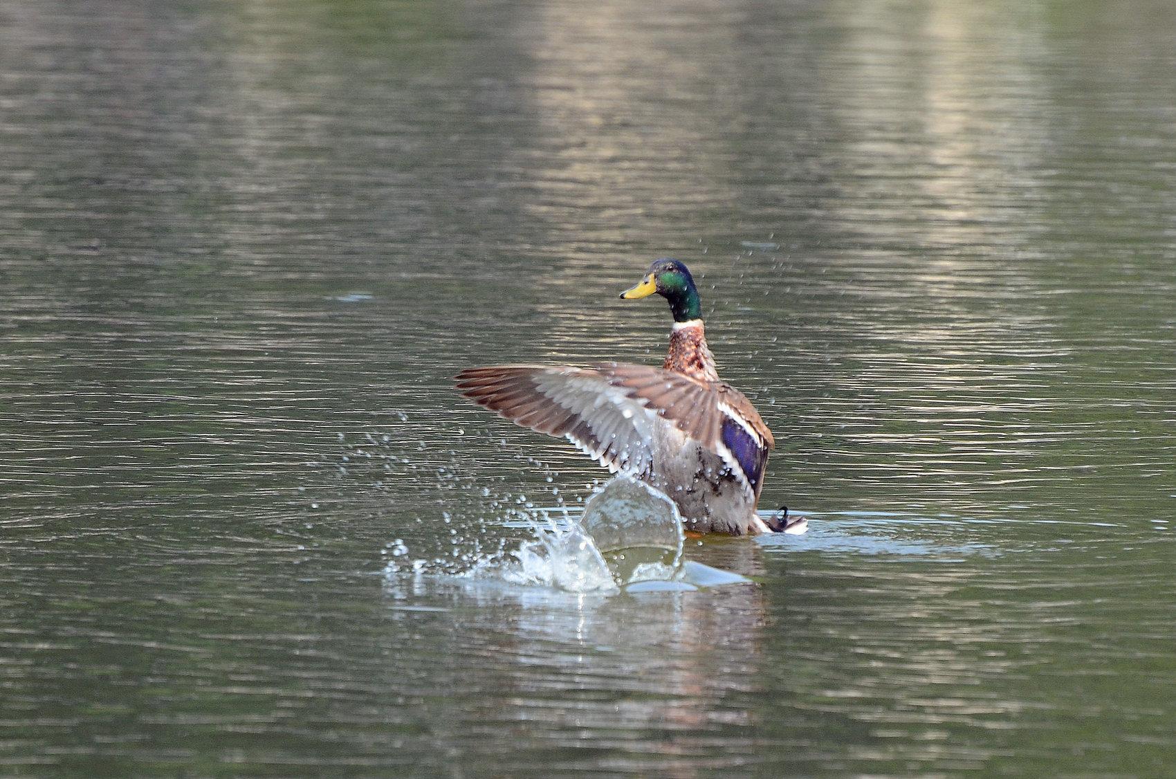 七星湖绿头鸭