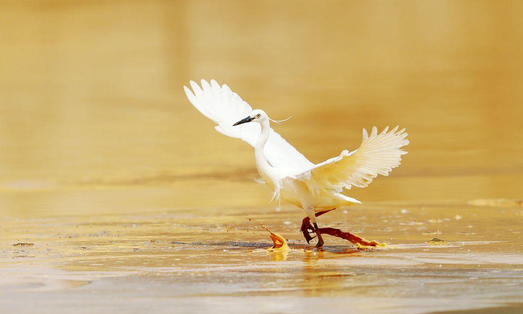 白鹭、、起舞